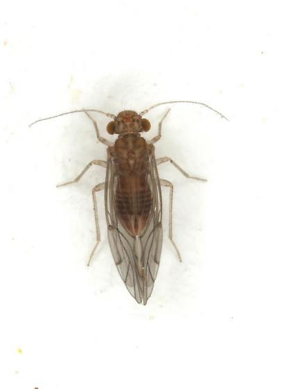 Lachesilla tropica - female