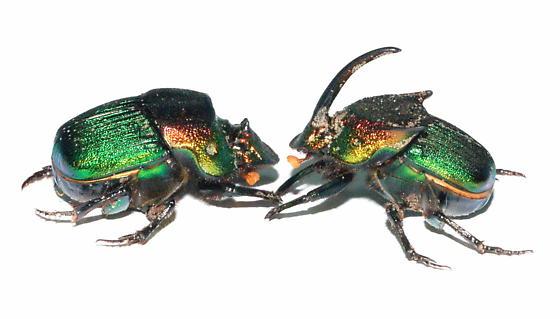 Major male and female - Phanaeus vindex - male - female