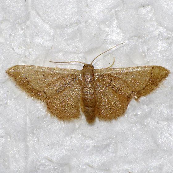 Idaea kendellaria - Idaea