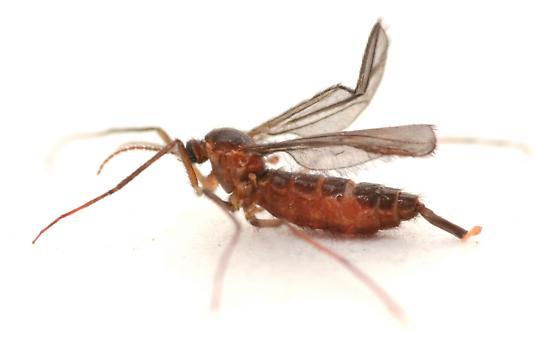 Olpodiplosis helianthi on Helianthus maximiliani - Olpodiplosis helianthi