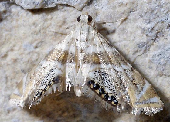 Petrophila - Petrophila heppneri