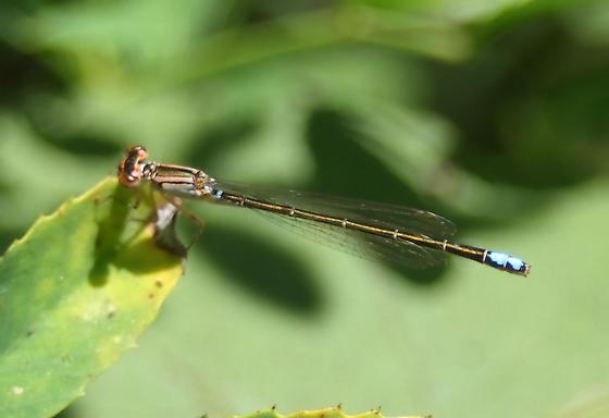 damselfly - Ischnura denticollis - female