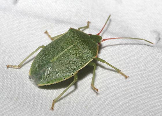 Green Stink Bug - Chlorocoris hebetatus