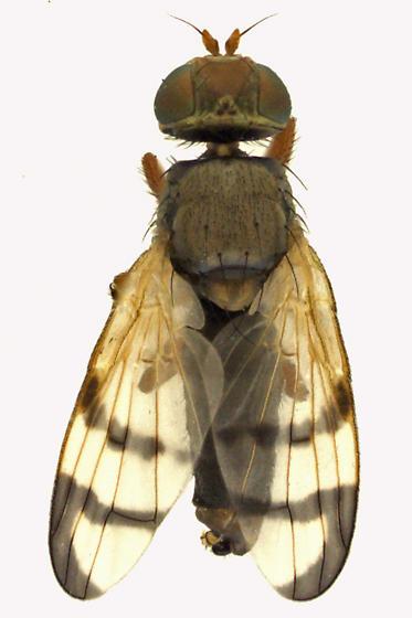 Fruit fly - Urophora