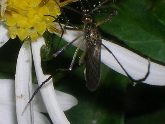 mosquitoe - Psorophora ferox