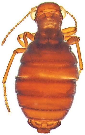 Caurinus tlagu - male