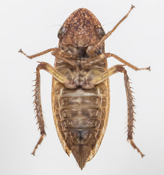 Leafhopper - Aphrodes costatus - female