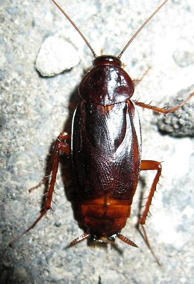 Blatta orientalis male? - Blatta orientalis - male