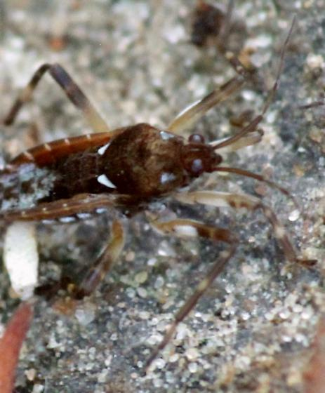 Semiaquatic Bug? - Platyvelia brachialis