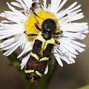 Checkered Beetle - Trichodes peninsularis