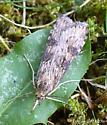 moth - Nomophila nearctica