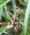 Lucerne Moth-Nomophila nearctica - Nomophila nearctica