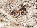 8034678 ant - Formica ulkei - female