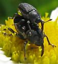 Weevils mating - Odontocorynus salebrosus - male - female