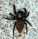 small brown and black jumping spider - Evarcha proszynskii - female