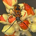 A Mimic of the Milkweed Longhorn? - Tylosis maculatus