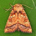 Cow Parsnip Borer Moth - Papaipema harrisii