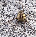 Unknown Spider (Fishing?) - Dolomedes gertschi - female