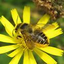 Hymenoptera 10b - Megachile perihirta - female