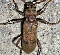 Brothylus gemmulatus? - Brothylus gemmulatus