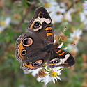 Common Buckeye - Junonia coenia - male