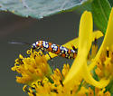 Atteva aurea - Ailanthus Webworm Moth - Hodges#2401 - Atteva aurea