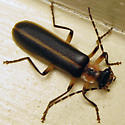 Podabrus frosti - Podabrus appendiculatus