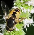 Syrphid Flies Eristalis arbustorum Male - Eristalis arbustorum - male