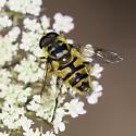 syrphid fly - Myathropa florea - male