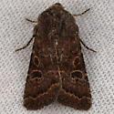 Noctuid of some kind? - Protorthodes rufula
