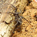 Thin legged wolf spider - Pardosa - female