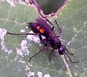 Nobel Scoliid? S. nobilitata - Anoplius americanus - female