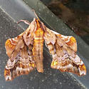 Small-eyed Sphinx - Hodges #7825 - Paonias myops
