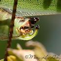 Fork-tailed Bush Katydid - Scudderia furcata - male