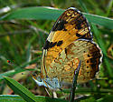 Crescent type?  Image 2 of 2 - Phyciodes