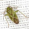 Broken-backed Bug - Taylorilygus apicalis