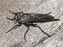 robber fly - Machimus