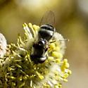 Syrphidae? - Platycheirus