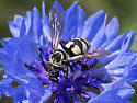 Cuckoo Bee with Anchor Pattern - Triepeolus Remigatus? - Triepeolus remigatus
