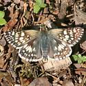 Common Checkered Skipper - Dorsal - Pyrgus communis