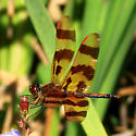 Halloween Pennant - Celithemis eponina ? - Celithemis eponina - male