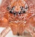 Philodromus rufus - male