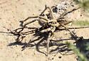 prowling spider - Hogna coloradensis