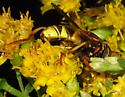 Wasp-hornet Mimic Syrphid with Cosmic Eyes - Spilomyia kahli