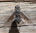 bee fly - Anthrax