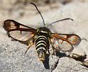 Clear-winged Moth - Albuna pyramidalis