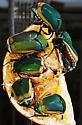 green beetle - Cotinis mutabilis