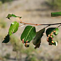 Gall bug host plant