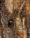 West Virginia ant under bark - Prenolepis imparis