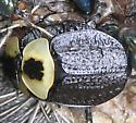 American Carrion Beetle (americana) - Necrophila americana - male - female